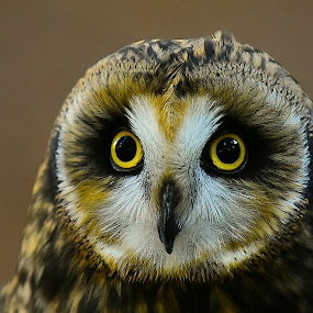 Shiva In The Shade by Roy Walter - Animals Birds ( captivity, animals, raptor, short eared owl, birds )