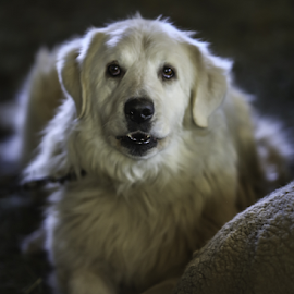 White Dog by Nancy Merolle - Animals - Dogs Portraits ( white dog, dog, guard dog, close-up, portrait, animal )