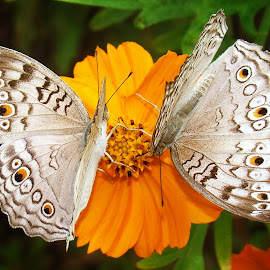 BUTTERFLIES DANCE by Anand Lepcha - Animals Other ( nature, butterflies, nikon, flies, animal, butterfy )
