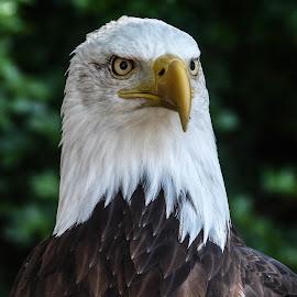 Startled by Garry Chisholm - Animals Birds ( bird, garry chisholm, eagle, nature, wildlife, prey, raptor )