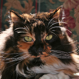 Cat in Sunlight by Waynette  Townsend - Animals - Cats Portraits ( backlit, cat, backlight, tortoise shell, sun, portrait,  )