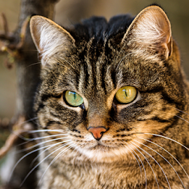 Wild cat by Alessandro Ciannarella - Animals - Cats Portraits ( ritratti, animals, cat, alcianna photo, alessandro ciannarella, 2014, iso 100, portrait, gatti, cats, rome, canon eos 7d, animali, portraits, animal )