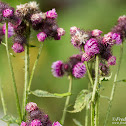 European swamp thistle