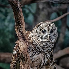 WHO? ME? by RomanDA Photography - Animals Birds ( animals, zoo, owl )