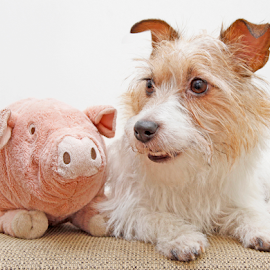 Miss Piggy and me by Mia Ikonen - Animals - Dogs Portraits ( toy, jack russell terrier, funny, finland, cute )