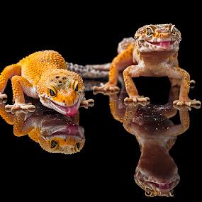 Geckos by Aditya Permana - Animals Reptiles (  )