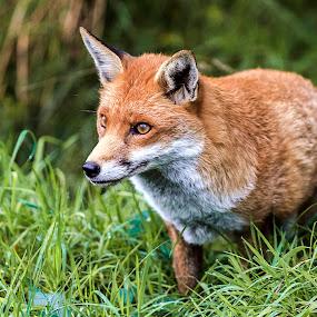 Very Alert Fox  by Graham Mulrooney - Animals Other Mammals ( uk, fox, grass, alert, wildlife, stalking, england, natural history, omnivorous, stealthy, nature, horizontal, woodland, canidae, berkshire, vulpini, animal,  )