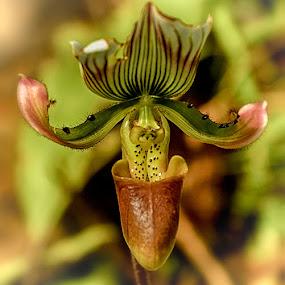 Shoe like flower by Radu Eftimie - Flowers Single Flower ( wild, orchid,  )