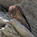Common Kestrel fledgling feeding