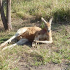 Lazy Red Kangaroo