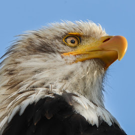 Eagle eye by Ajay Kumar - Animals Birds (  )