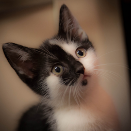 Ziggy by John Walton - Animals - Cats Kittens ( kitten, heritagefocus )