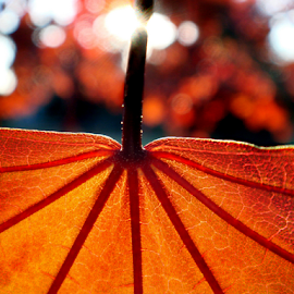 Autumn Colors by Bonnie Rovere - Nature Up Close Trees & Bushes ( orange, red, fall, brown, leaf, color, colorful, nature )