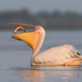 Pelecans fishing by Ionel Onofras - Animals Birds ( danube delta, plecans, wilde, birds fishing, wildlife, birds )