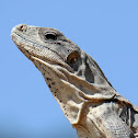 Mexican Spiny-tailed Iguana