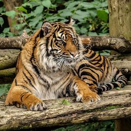 Alert by Garry Chisholm - Animals Lions, Tigers & Big Cats ( garry chisholm, predator, carnivore, nature, tiger, sumatra, wildlife )