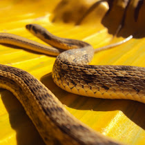 Colubrid snakes of Northern India