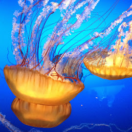 Blue, Orange, Jellyfish by Leah N - Animals Fish ( camera phone, Lighting, moods, mood lighting )
