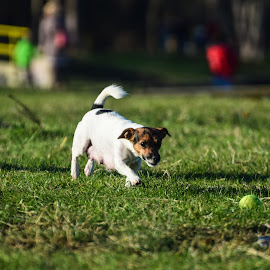 Little dog playing with a tennis ball by Mihai Solom - Animals - Dogs Playing ( playing, ball, chasing, grass, tennisball, dog )