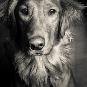 Patience by Caitlin Lisa - Animals - Dogs Portraits ( retriever, beautiful, dog, golden, golden retriever )