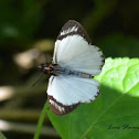 Veined White Skipper