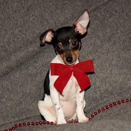 Christmas Puppy~Natasha~ by Leah Danker - Animals - Dogs Puppies ( cute puppy, christmas puppy, puppy, puppy portrait, natasha,  )