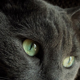 cat eyes by Sheila Attia - Animals - Cats Portraits ( cat, eyes )