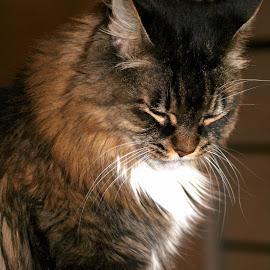 Petunia by Jody Frankel - Animals - Cats Portraits