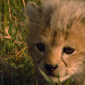Baby Cheetah Live Wallpaper icon