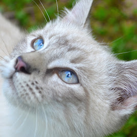 Lynx Point by Lindsey Rodgers - Animals - Cats Portraits ( cat, blue eyes, feline, siamese, tabby,  )