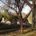 Prunus serrulata. Cerezo japonés, Cherry Hill, Cherry Oriental o cerezo del Este de Asia.