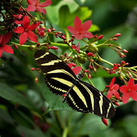 Heliconius charithonia. by Jadwiga Dabrowski - Animals Insects & Spiders ( butterfly, red, heliconius charithonia., zebra longwing, flower )