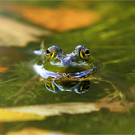 A Warm Fall Day at the Pond by Dennis Ba - Animals Amphibians ( autumn leaves, frog, frog pond )