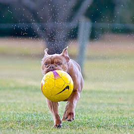 Indy on the Run by Martha Pope - Animals - Dogs Running ( bulldog, shelter, adopt, foster, rescue, dog )