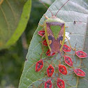 giant shield bug