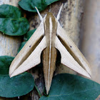 Brown-Banded Hunter Hawkmoth