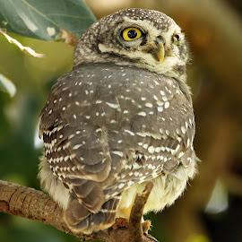 Spotted Owlet by Sankaran Balaji - Animals Birds ( animals, nature, spotted owlet, birds, closeup )