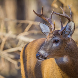 Young Buck by Chris Hurst - Animals Other Mammals ( whitetail deer, bucks, buck, whitetail, white tail, white tail deer, whitetail buck, deer )