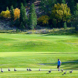 Geese on Course Squaw Vally by Samantha Linn - Sports & Fitness Golf
