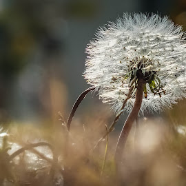 dandelion by Teodora Ivanova - Nature Up Close Leaves & Grasses ( dandelion grasses )