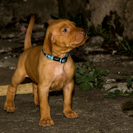 Hungarian vizsla by Tomas Canon - Animals - Dogs Puppies