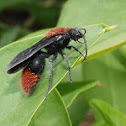Eastern velvet ant (male)