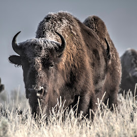 Bison by Andy Schwanke - Animals Other Mammals ( buffalo, yellowstone, hdr, bison, yellowstone national park, snow,  )