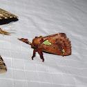 Spiny Oak-slug Moth