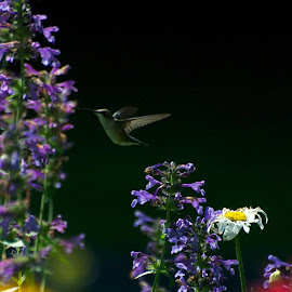 Mr. Hummingbird by Edd Rose - Nature Up Close Gardens & Produce