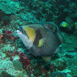 Terrible Titan Triggerfish by Phil Bear - Animals Fish ( bali, coral, reef, indonesia, fish, triggerfish )