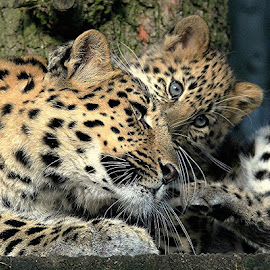 Amur Leopard & Cub by Ralph Harvey - Animals Lions, Tigers & Big Cats ( wildlife, ralph harvey, marwell zoo, animal )