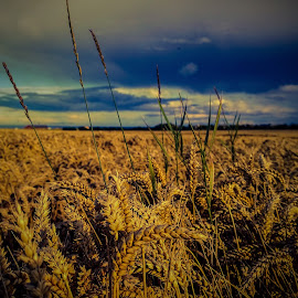Wheat field before the harvest by Russell Prain - Landscapes Prairies, Meadows & Fields (  )