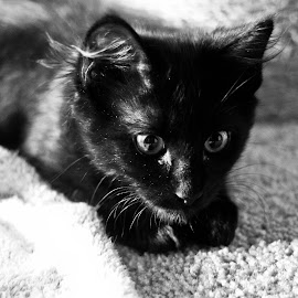 Luna by Isabel Sweere - Animals - Cats Kittens ( kitten, black and white, pet, black cat, cat playing )