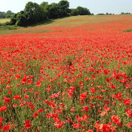 Poppy field  by Paul Furness - Landscapes Prairies, Meadows & Fields